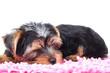 little yorkie puppy sleeps on a carpet