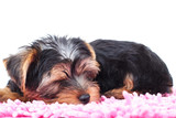 little yorkie puppy sleeps on a carpet