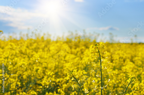 Fotobehang Oranje Bright yellow canola field under blue sky summer day