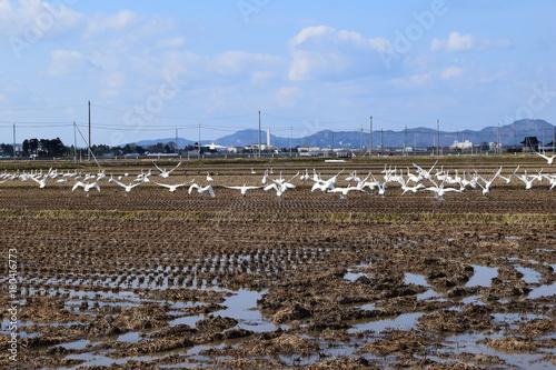 Fotobehang Zwaan 田んぼに飛来してきた白鳥