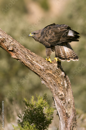 Fotobehang Eagle Common buzzard. Buteo buteo