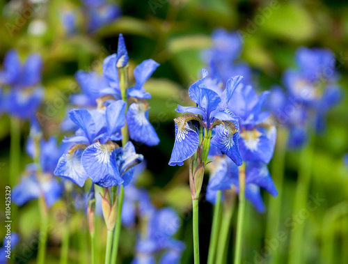 Plexiglas Iris iris blueflag flowers