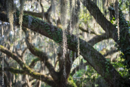 Romantic view of Spanish moss hanging from the branches of a mighty oak tree in the American South © lazyllama