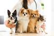 Female vet holding dogs in hospital