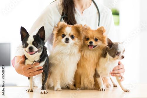 fototapeta na ścianę Female vet holding dogs in hospital