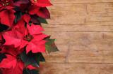 Euphorbia pulcherrima Noche Buena Mexican flame leaf Lalupatae Christmas star Stella di Natale Winter rose Poinsettia 一品紅 Atatürk çiçeği Αλεξανδρινό Božićna zvijezda Weihnachtsstern بنت القنصل Pflanze - 180430126