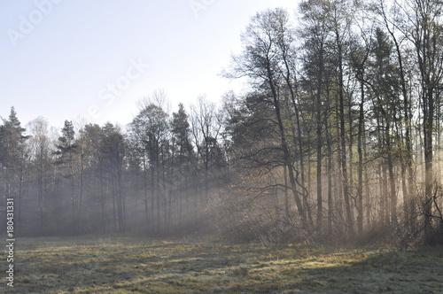 Fotobehang Grijs Las skąpany w porannej mgle
