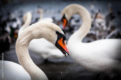 Fotobehang Zwaan BIRDS3