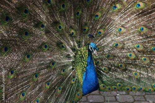 Fotobehang Pauw Peacock pose