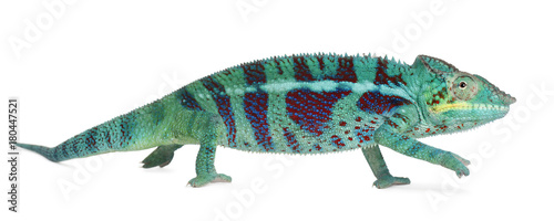 Fotobehang Kameleon Panther Chameleon Nosy Be, Furcifer pardalis, in front of white background