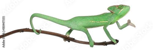 Plexiglas Kameleon Young veiled chameleon, Chamaeleo calyptratus, in front of white background