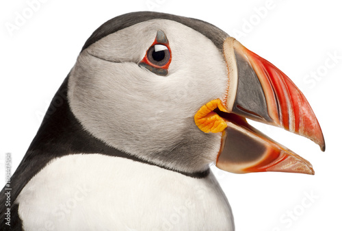Close-up of Atlantic Puffin or Common Puffin, Fratercula arctica, in front of wh Poster