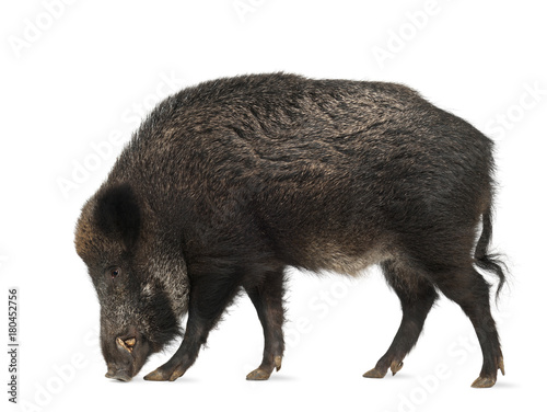 Wild boar, Sus scrofa, 15 years old, walking against white background Poster