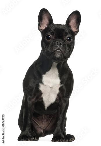 Deurstickers Franse bulldog French Bulldog (6 months old)