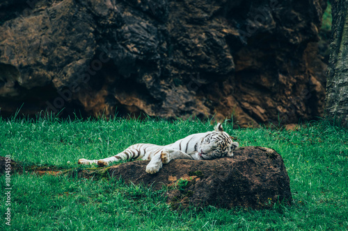 White tiger lying on a rock with the tip of his tongue out Poster