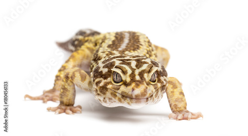 Obraz na płótnie Leopard gecko, Eublepharis macularius, against white background
