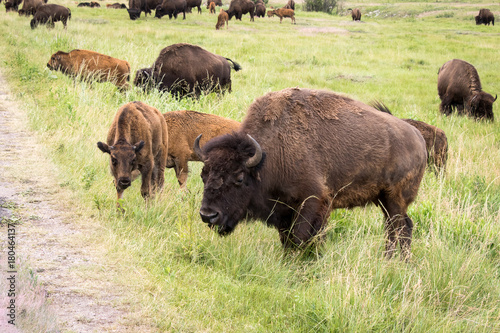Plexiglas Bison Bison On the move