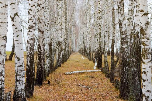 Papiers peints Bosquet de bouleaux Beautiful autumn birch alley with fallen leaves