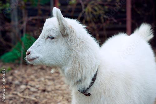 Aluminium Wolf Young goat