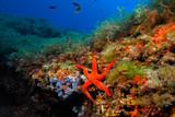 Hacelina attenuata 787_057, estrella de mar junto a pradera