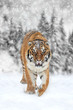 Black and white photography with color tiger