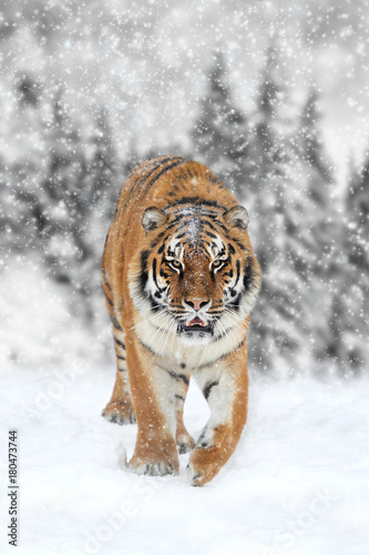 Aluminium Tijger Black and white photography with color tiger