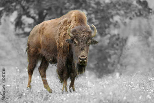 Plexiglas Bison Black and white photography with color bison