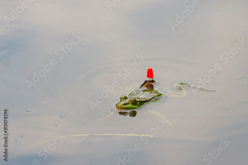 Fotobehang Kikker frog in pond