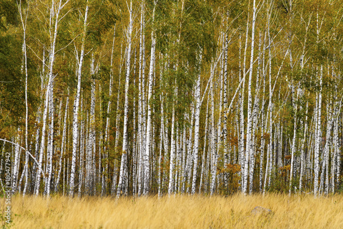 Fotobehang Berkenbos Birch grove with grass in the foreground.