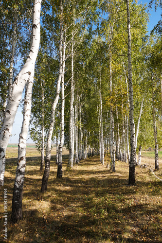 Fotobehang Berkenbos Young birches are planted in a row on the edge of the field.