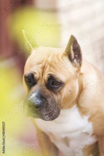 Foto op Canvas Franse bulldog american staffordshire terrier dog