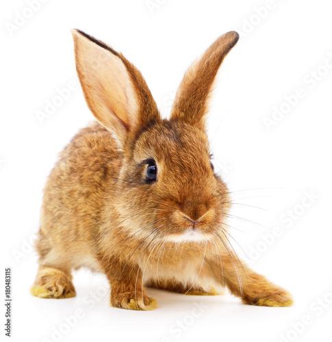 Poster Brown rabbit on white.