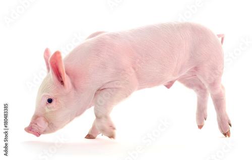 Poster Pig on white.