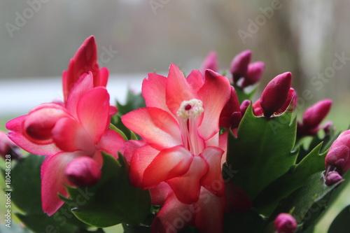 Plexiglas Azalea Red flower in garden