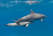Family of dolphins (mother and baby) swimming underwater in the blue sea