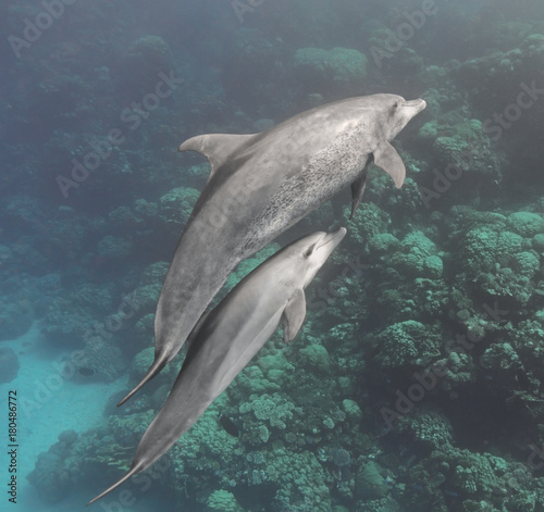Fotobehang Dolfijn Bottlenose dolphins family (mother and baby) swimming underwater in the sea near the coral reef