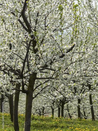 Fotobehang Planten blossoming fruit trees in spring
