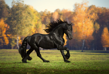 Big black horse runs in the forest background
