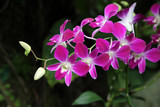 Fototapety Orchideen-Hybride Dendrobium Sonia