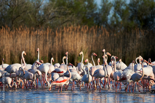 Flock of flamingos in Camargue Poster