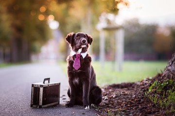 Australian Shepherd dog with a tie and a suitcase beside