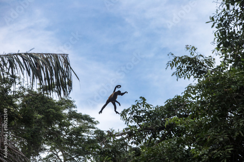 Fotobehang Aap Spider monkey in their natural environment - Costa Rica - Tortuguerro National Park
