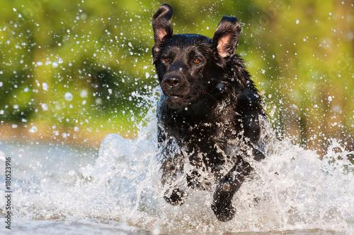Poster labrador runs through the water