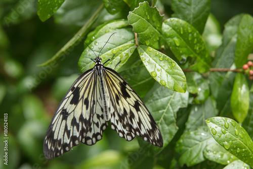 Fotobehang Vlinder Butterfly on raindrop leaf