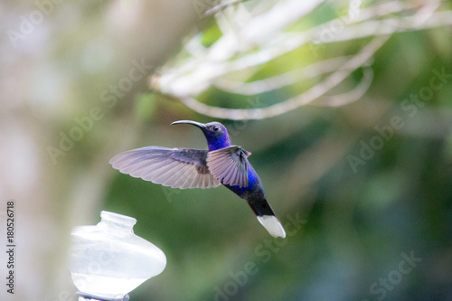 Buczenie ptaka z Kostaryki