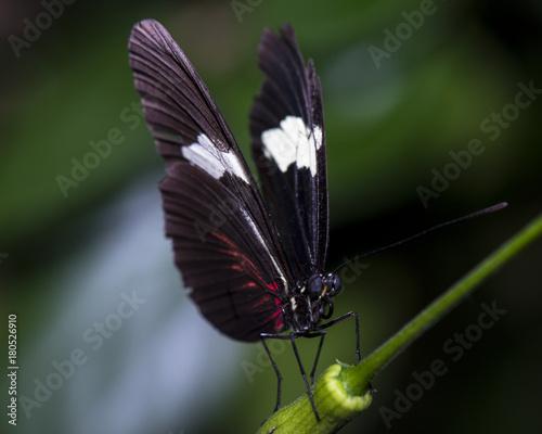 Fotobehang Vlinder Heliconius melpomene - Postman butterfly