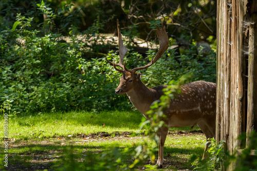 Fotobehang Hert Stag(deer)