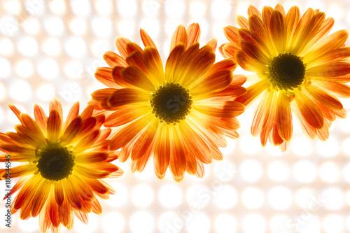 Fotobehang Gerbera bright flowers, autumn flowers, small chrysanthemums