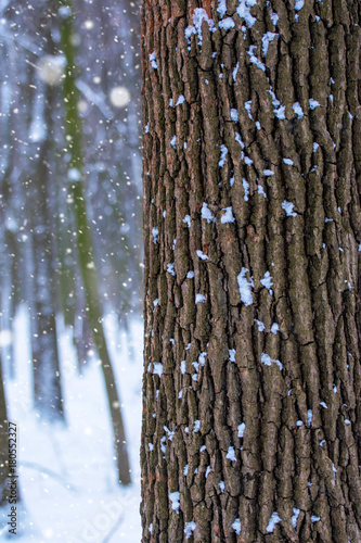 Fotobehang Berkenbos Photo of a tree trunk in the forest in winter with falling snow