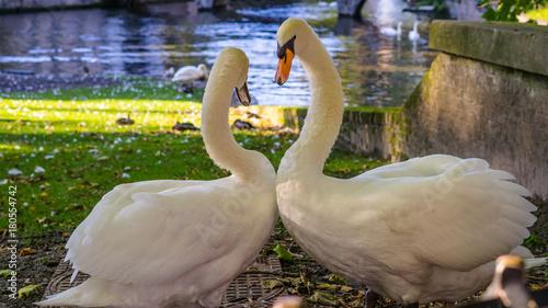 Fotobehang Zwaan Belgium, Brugge, Begijnhof, Couple swans on the shore in love dance, to Minnehof VOF